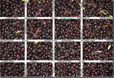 La Cosecha de Aceite de 2012_Caudete de las Fuentes_dic